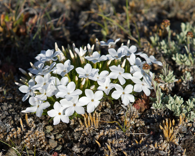 Manyflowered phlox<br /> Antelope Creek area Yellowstone National Park Wyoming