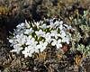 Manyflowered phlox<br /> Antelope Creek area Yellowstone National Park Wyoming