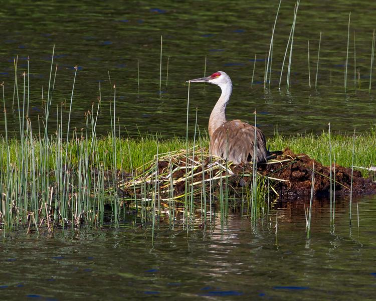 Sandhill Cranes on nest<br /> Floating Island Lake, Yellowstone National Park Wyoming