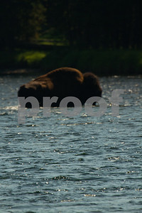 A buffalo crosses the Yellowstone River in the Hayden Valley of Yellowstone National  Park.