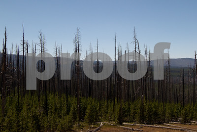 In 1988 a series of fires combined to destroy over 30% of Yellowstone National Park.  On Mt. Washburn you see the burnt remnants of 200 year old lodgepole pines poking out of short, but dense rebirth.  One day the charcoaled remnants will be reclaimed by the earth, but until then this serves as an awesome reminder of the power of fire.