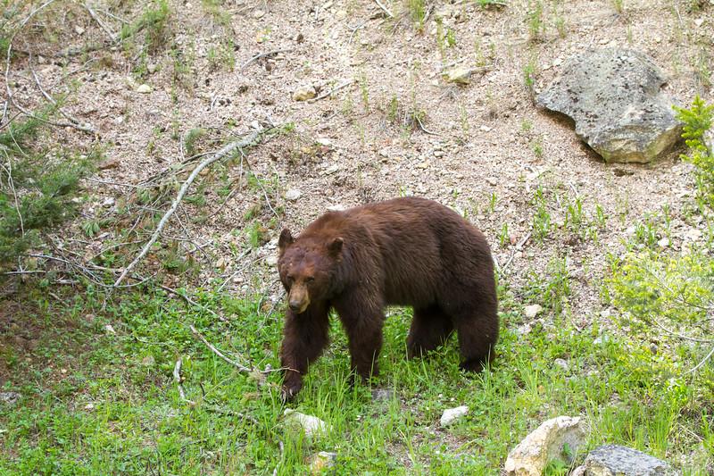 Black Bear<br /> Yellowstone National Park, Wyoming