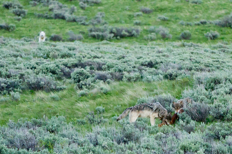 Wolf Kill <br /> Wolf Kill, Antelope Creek, Yellowstone National Park, Wyoming