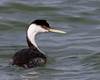 Western Grebe<br /> Yellowstone Lake, Yellowstone National Park, Wyoming