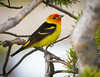 Western Tanager<br /> Western Tanager, Yellowstone National Park, Wyoming