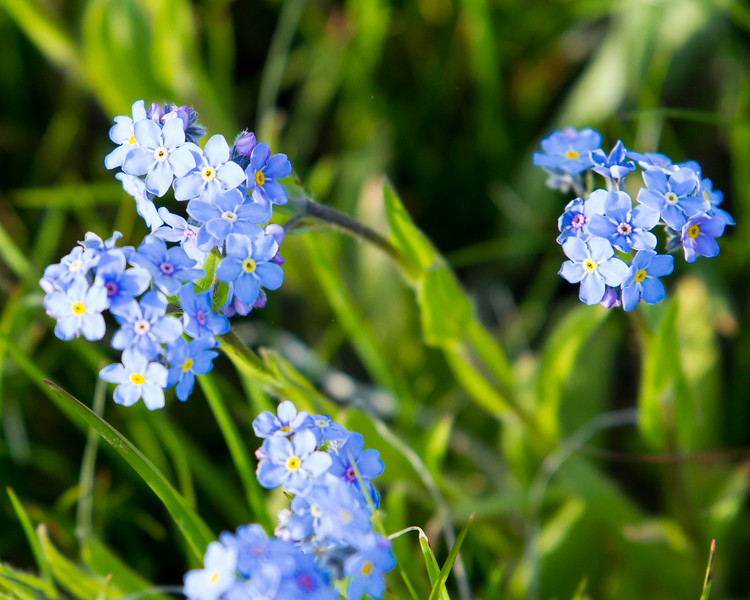 Forget-me-not<br /> Antelope Creek area Yellowstone National Park Wyoming