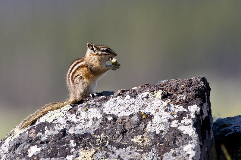 Least Chipmunk eating dandelion<br /> Antelope Creek area Yellowstone National Park Wyoming