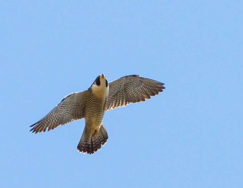 Peregrine Falcon<br /> Peregrine Falcon, Yellowstone National Park, Tower Area