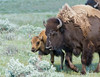 Bison On The Run<br /> Bison, Lamar Valley, Yellowstone National Park Wyoming