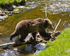 Grizzly bear<br /> Grizzly bear Yellowstone National Park Wyoming