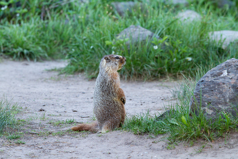Yellow-bellied marmot<br /> Sheepeater Cliffs, Yellowstone National Park Wyoming
