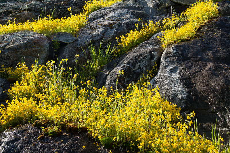 Yellow Monkey Flower<br /> Yellow Monkey Flower, Lamar Valley, Yellowstone National Park, Wyoming
