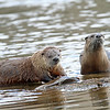 Otter couple.. Yellowstone River ,Yellowstone Nat'l Park,Wyoming...series