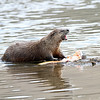 Otter<br /> Yellowstone River..Yellowstone Nat'l Park,Wyoming