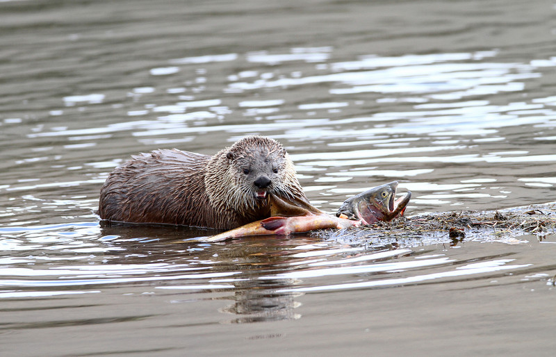 Otter with his fish<br /> Yellowstone River..Yellowstone Nat'l Park,Wyoning