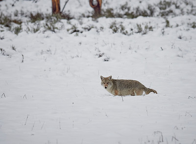 Coyote hunting in the snow