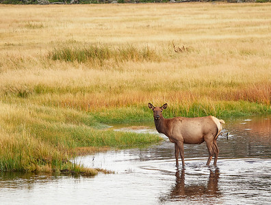 Young Elk in the water meadow