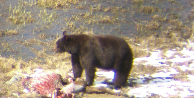 May 10, black bear on elk carcass, observed through spotting scope from morning viewing site