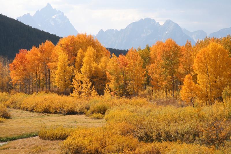 Golden trees<br /> Teton's, Wyoming