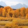 Golden trees<br /> Teton's, Wyoming