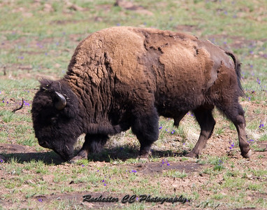 Bison in Bighorn National Forest, Wyoming