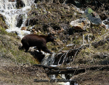 Cinnamon Black Bear in Yellowstone Park, Wyoming near Yellowstone Lake.