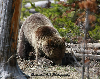 Grizzly Bear digging in Yellowstone Park, Wyoming near Grizzly lake.