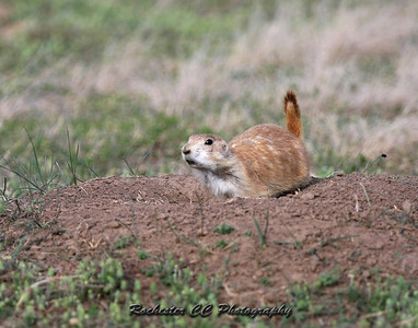 Black-tailed Prairie Dog in Badlands National Park, South Dakota.