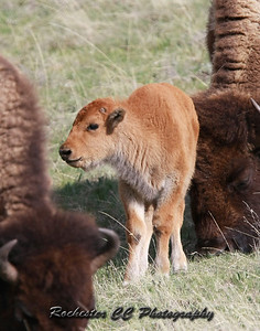 "Bison calf also known as a ""Red Dog"" in Yellowstone Park, Wyoming near Norris."