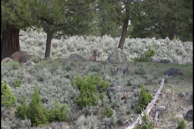 Video of Bighorn Sheep in Yellowstone Park, Wyoming near the Yellowstone picnic area.
