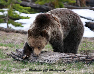 Grizzly Bear in Yellowstone Park, Wyoming near Grizzly lake.