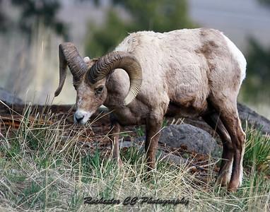 Bighorn Sheep in Yellowstone Park, Wyoming near the Yellowstone picnic area.