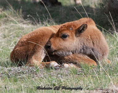"Bison calf also known as a ""Red Dog"" sleeping in Yellowstone Park, Wyoming near Norris."