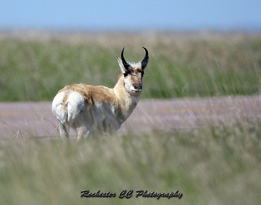 Pronghorn Antelope in Badlands National Park, South Dakota.