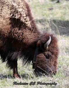 Bison with collar in Yellowstone Park, Wyoming near Norris.