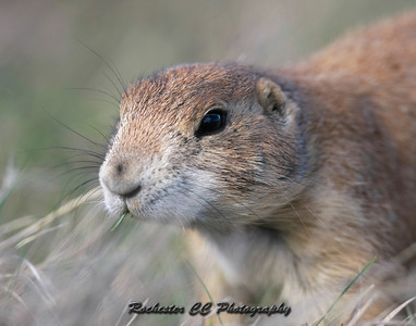 Black-tailed Prairie Dog nears Devil's Tower in Wyoming.
