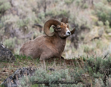 Bighorn Sheep in Yellowstone Park, Wyoming near the Yellowstone picnic area.