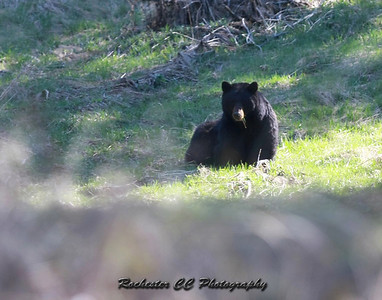 Black Bear in Yellowstone Park, Wyoming between Tower and Canyon.