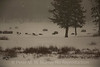 Wolves and Bison in a squall
