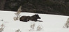 Black Wolf Pup Prospects