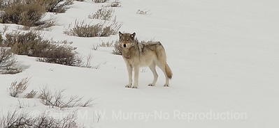 Grey Wolf Prospects
