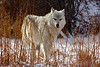 Alpha Female of the Canyon Pack in willows assessing the carcass.
