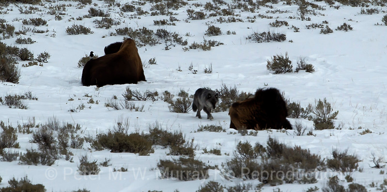 755M of the Lamar Canyon Pack inspects the Bison and hesitates.  Good move.