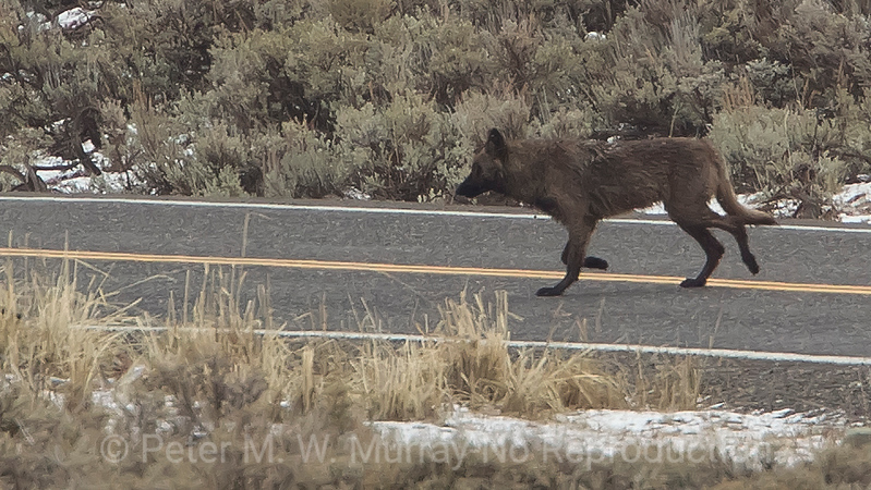 Black Wolf crosses the road in Lamar Valley. Looks good with no sign of mange.
