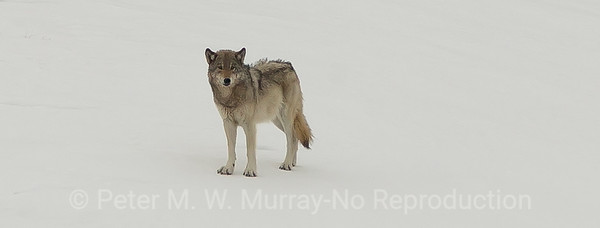 Gray Wolf Prospects