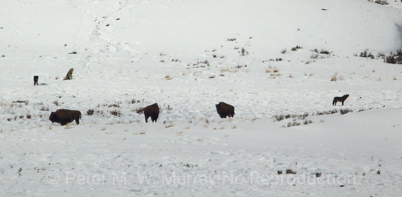 The Junction Butte Wolves checked out the Bison for a few minutes and decided that there were no suspect.
