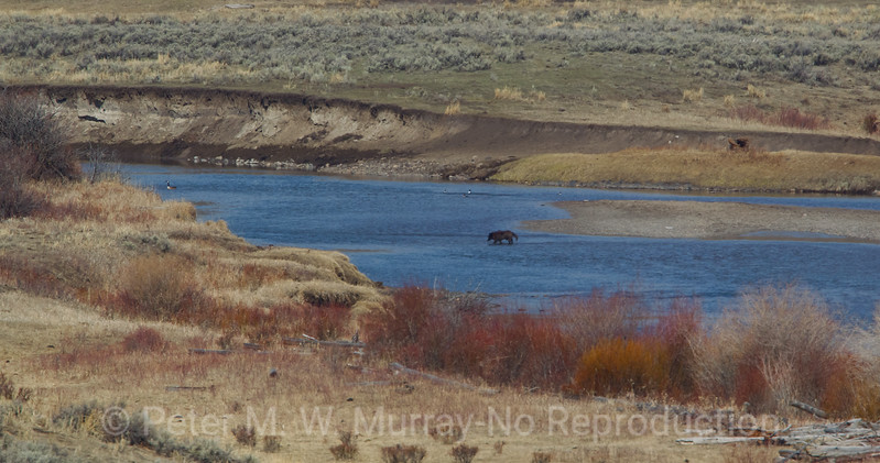 Black Wolf....Junction Butte Pack...crosses Slough Creek