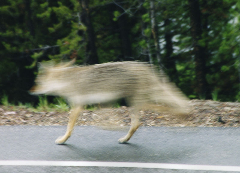 coyote, always moving