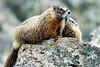 Marmot w/ baby