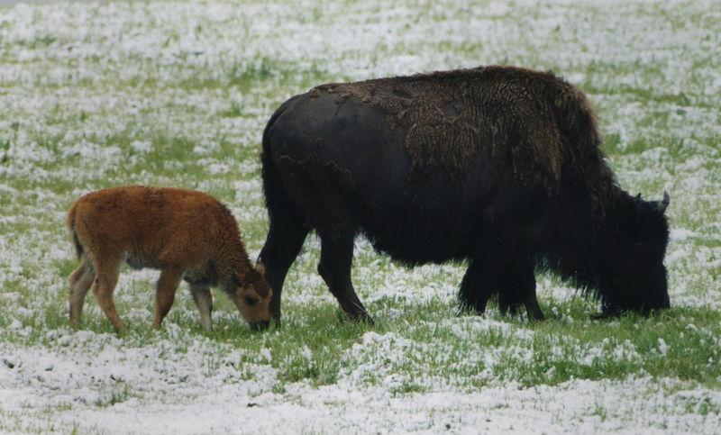 bison w/ calf